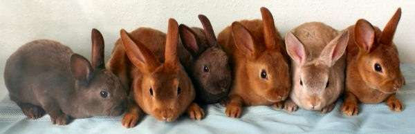 породы кроликов мясного направления