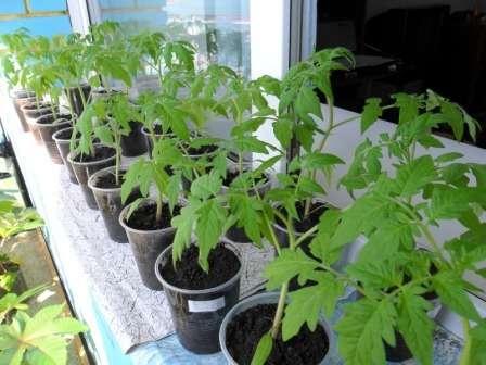 За пару недель до высадки рассаду нужно закалять, вынося на свежий воздух или тщательно проветривая помещение.