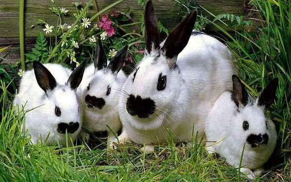кролик бабочка описание породы, фото и характеристика