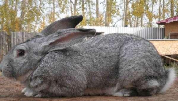 Порода кроликов Серый Великан имеет такие преимущества