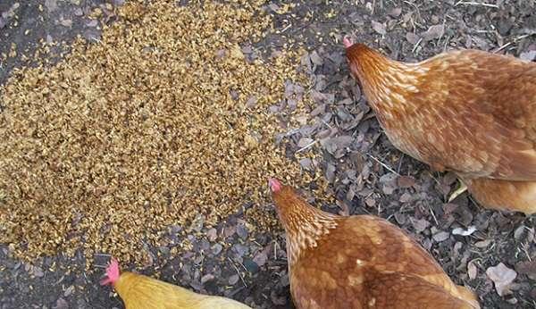 добавлять в корм кормовые дрожжи для курей и правильно давать