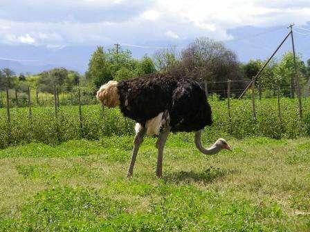 Как разводить африканских страусов в домашних условиях?