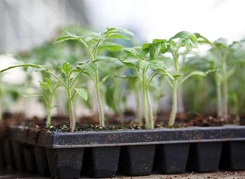 Семена нужно распределить на расстоянии 1-2 см друг от друга и опрыскать из пульверизатора или через ситечко теплой водой.