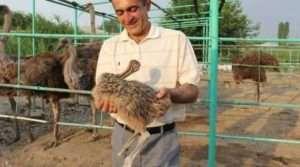Выращивание страусов в домашних условиях с нуля с чего начать 65