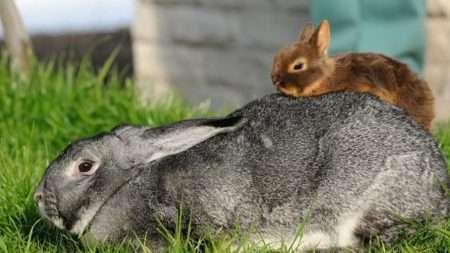 карликовые кролики уход и содержание