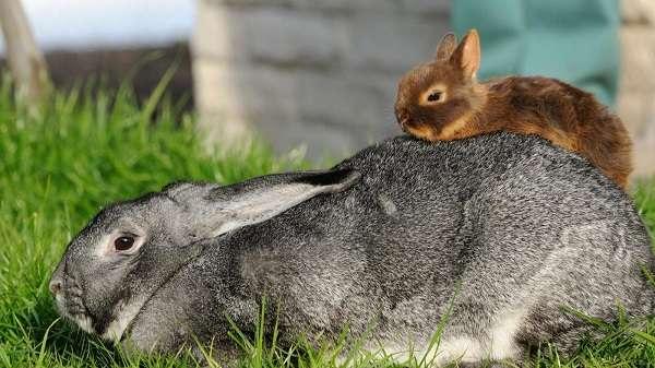 Карликовый кролик содержание уход в домашних условиях 488