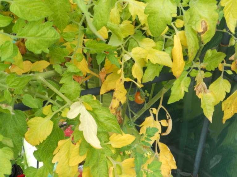 Азот участвует в регулировании роста томатов и формировании плодов. Его нехватка моментально приводит к остановке роста растения.