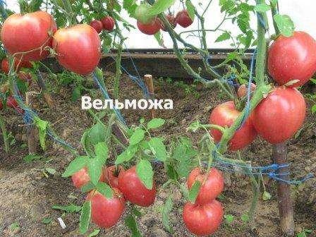Сорт Вельможа относится к группе детерминантов, то есть рост куста ограничивается последней кистью.