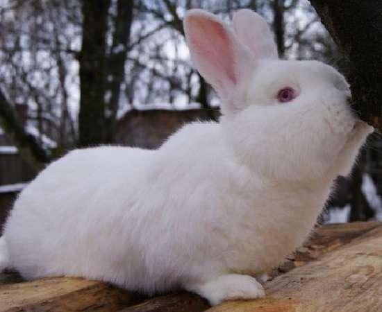 кролики породы белый паннон описание