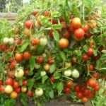 Какие семена помидор самые урожайные из низкорослых?