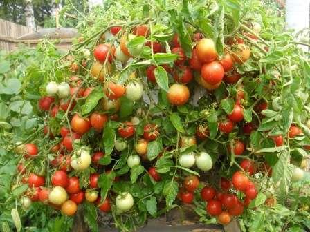 Мы подскажем вам, какие семена помидоров самые урожайные и низкорослые вместе с тем.