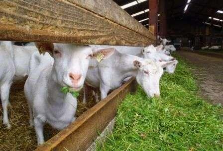 Как выращивать коз в домашних условиях? Что для этого потребуется? Предлагаем вам узнать ответы на эти вопросы из статьи.