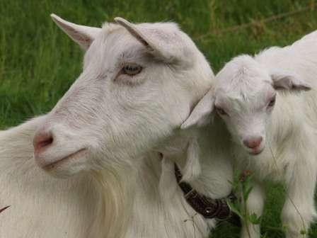 Итак, теперь вы знаете, как выращивать коз в домашних условиях. Хочется отметить, что содержание и выращивание коз в домашнем хозяйстве не представляет особых трудностей, даже для начинающих фермеров.