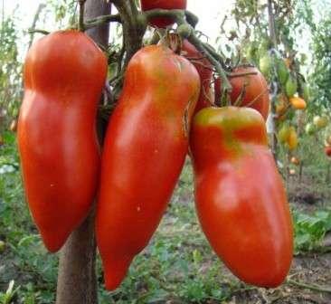 Помидоры этого сорта выделяются очень необычной формой и великолепным вкусом, чем и завоевали необычайно большую популярность среди огородников.
