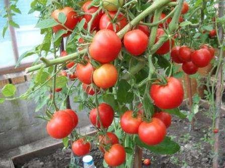 Это ранний сорт томатов, куст которого имеет высоту 1,5-2 м.
