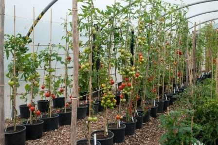 Помидоры могут быть детерминантные или индетерминантные. Первые — это низкорослые сорта (до 1 м), а индетерминантные — это растения с неограниченным ростом, которые могут вырастать до 2-х и даже до 3-х сантиметров.