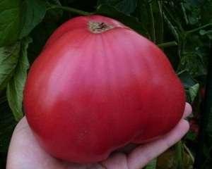 Эти помидоры имеют вид большого розового сердца, на вкус они сладкие, без ощутимой кислоты. Эти сердцевидные гиганты весят от 400 до 1000 г.
