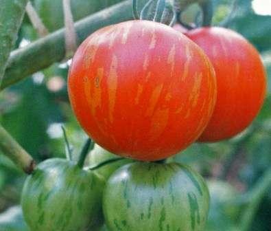 Особого внимания достойна расцветка плодов этого сорта помидоров — из-за оригинальных желтых вкраплений они похожи на большие красные яблоки.