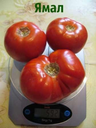 Кроме этого, стоит отметить хорошие вкусовые качества и универсальное применение плодов.