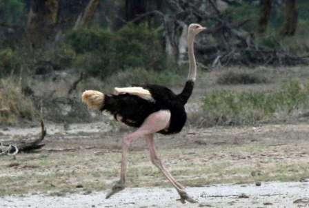Разнообразные породы страусов, фото и названия которых обсуждались выше, дают фермеру возможность выбрать самый подходящий вид для выращивания на своем участке. Страус – удивительная птица, наблюдение за которой может доставить массу удовольствий.