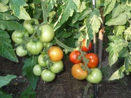 """Томат """"Санька"""": характеристика и описание сорта помидор с фото"""