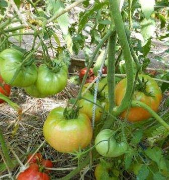 Томат Алсу можно с успехом выращивать практически во всех климатических зонах, как в ОГ, так и в теплице.