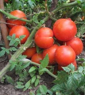 Поэтому чаще всего этот томат растят в ОГ, под низеньким пленочным укрытием или в домашних условиях.