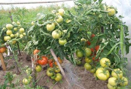 Отзывы земледельцев гласят, что сорт томатов Санька очень отзывчив на подкормки.