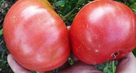 Вы еще никогда не сажали томат Розовый Гигант? Описание сорта, фото, отзывы, находящие в этой статье, помогут вам оценить все преимущества этого популярного гибрида.