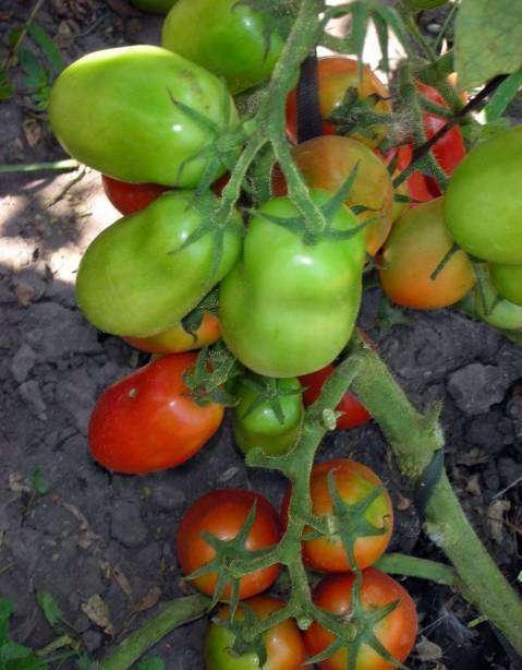 Старайтесь чаще поливать томаты, особенно, в период формирования плодов.