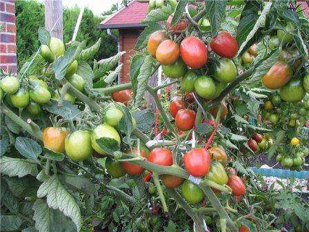 Этот среднеспелый томат известен, наверное, всем дачникам.