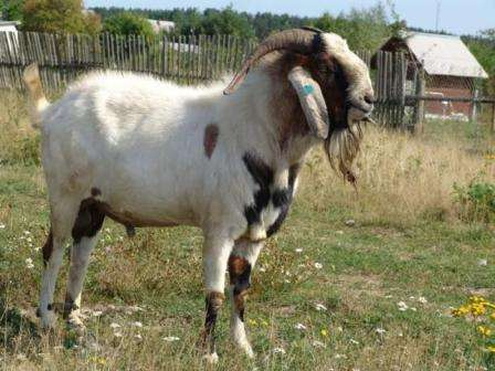 Нубийские козы нуждаются в достаточно властном и строгом хозяине, который станет для них настоящим вожаком