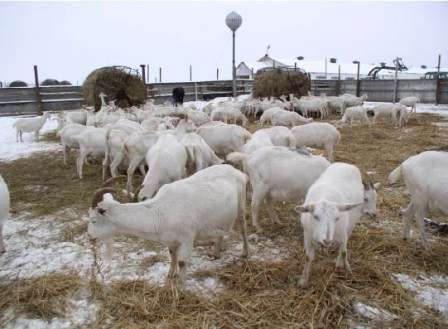 Тема этой статьи - дойные козы: содержание для начинающих. Из нее вы узнаете, как правильно содержать козу, чтобы она хорошо росла и давала много литров молока.