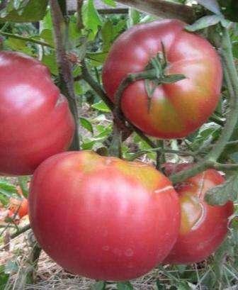 Это известный в народе среднеспелый крупноплодный сорт томатов, устойчивый к фитофторе и другим болезням.