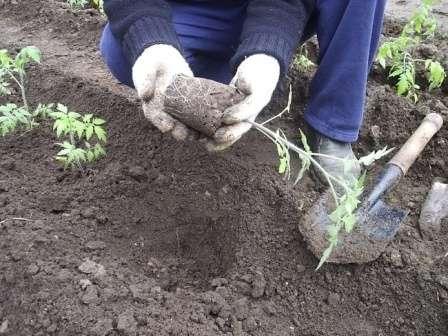 Каждый росток перевалите в выкопанную ямку вместе с земляным комом, полейте теплой водой и присыпьте сухой землей.