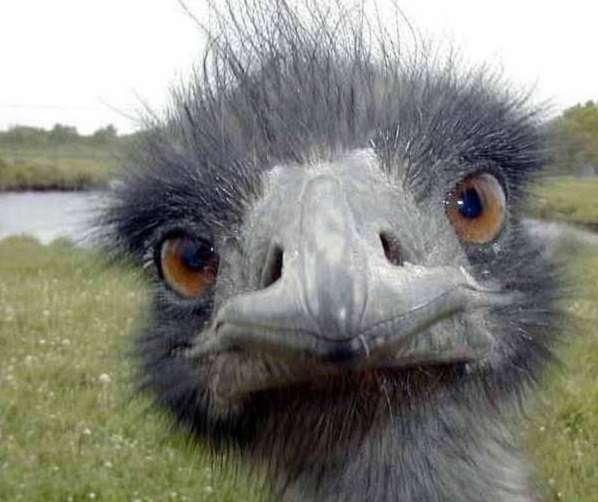 Что нужно знать о содержании страусов начинающим птицеводам?