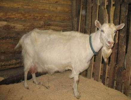 Белая Банатская порода