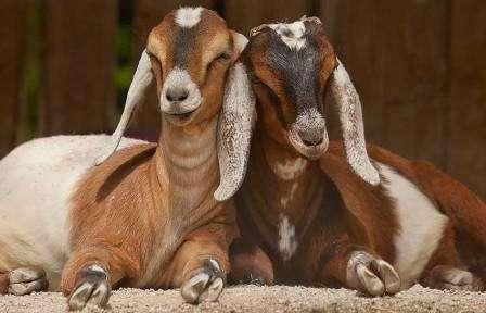 Обязательным условием хорошей молокоотдачи от коз этой породы является полноценное обеспечение их кормом, который будет включать все необходимые полезные минералы и вещества.