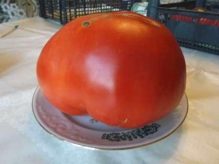 Если вы являетесь ценителем крупноплодных помидоров, то вам просто необходимо попробовать вырастить томат Спринт Таймер. Описание сорта, фото, которые вы найдете на этой странице, покажут вам, что этот гибрид достоин появиться на ваших грядках.