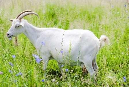 Для придания соскам эластичности, их нужно тщательно и регулярно массировать. Что касается регулярности доения молочной козы, то в летнее время дойку нужно производить не