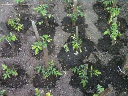 Решить, где вы будете сажать томаты в этом году лучше всего еще с осени. Так вы сможете заблаговременно создать для них наилучшие условия.