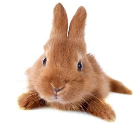 бургундские кролики описание породы
