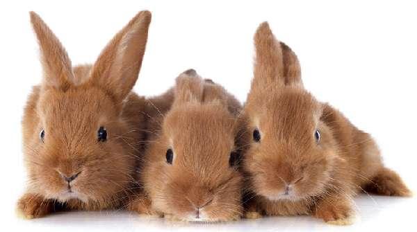 Посмотреть на бургундских кроликов можно на фото