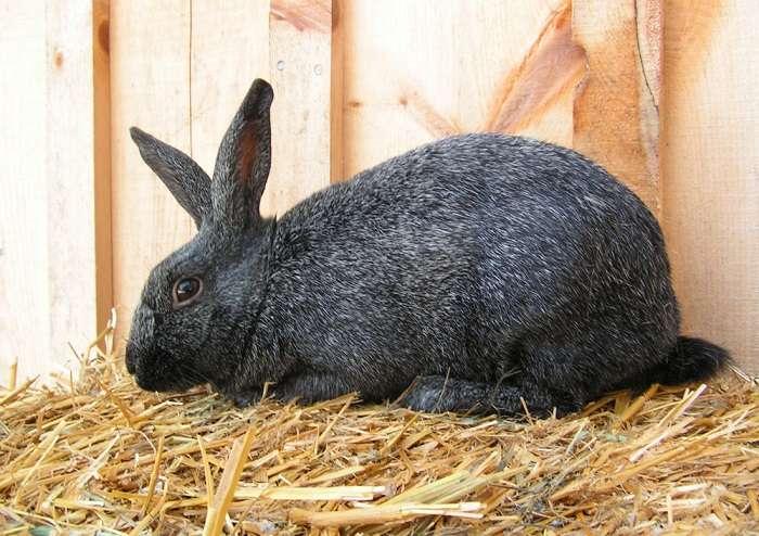 серебристый кролик описание породы, фото