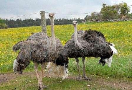 Сегодня почти все породы страусов, фото и названия которых будут обсуждаться в этой статье, можно приобрести и выращивать в домашних условиях. Какие из них самые продуктивные?