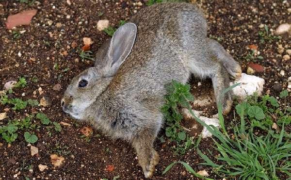 сли кроликовод заметил малейшие клинические признаки проявления данной болезни