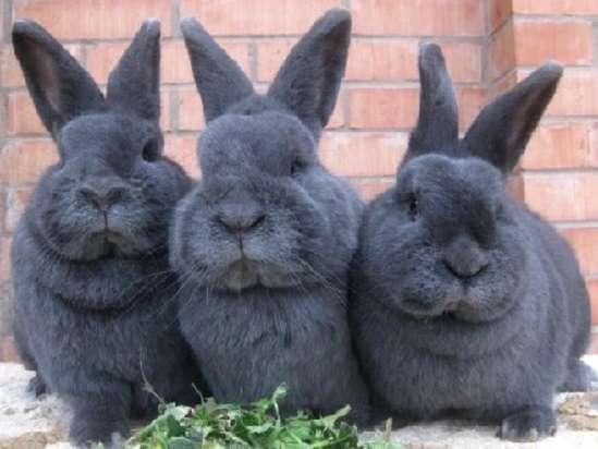 венский голубой кролик характеристика