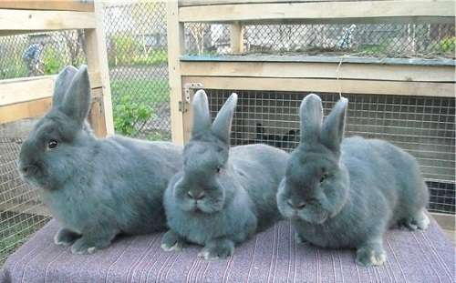 Преимущества породы кроликов венский голубой