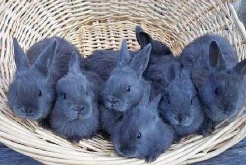 у венских голубых кроликов есть свои плюсы
