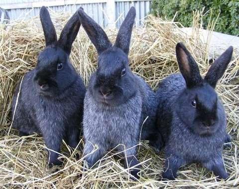 порода кроликов венский голубой описание, фото